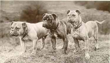 3 old time bulldogs
