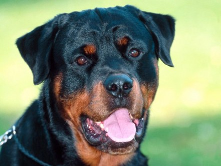 dillon-rottweiler-wallpaper-11474705