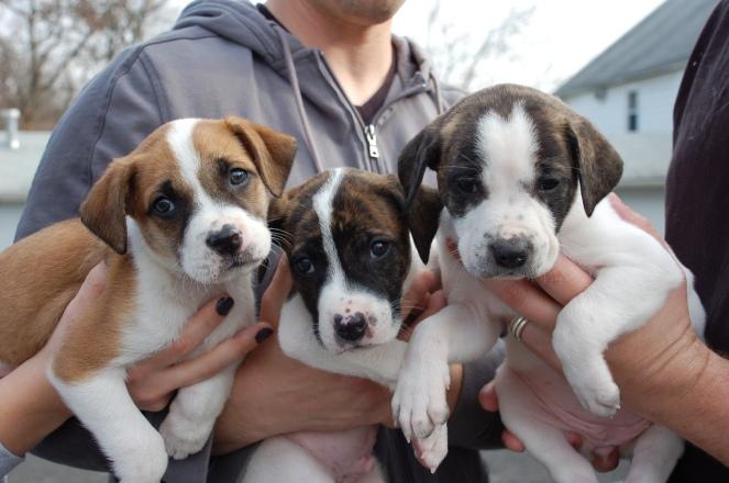 0000000000000000000000000000000000000000000000000000000000000000000000three-pit-bull-puppies